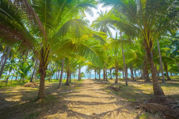 Produção de coco: controle da broca-do-coqueiro