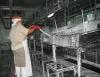 Criação de galinhas poedeiras passa por fase bastante lucrativa