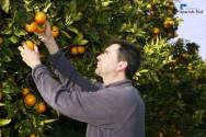 Dicas de colheita de citros orgânico