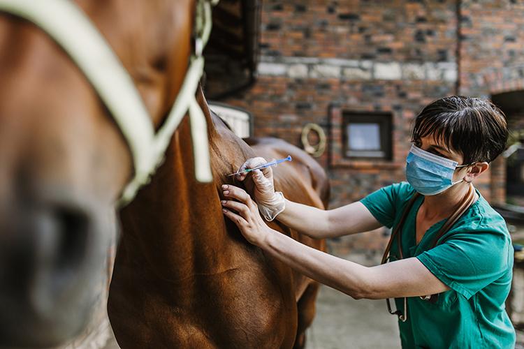 Cavalo sendo examinado - imagem ilustrativa