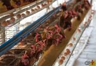 Vai criar galinhas em gaiolas? Conheça os equipamentos necessários
