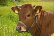 Boas práticas de identificação de bovinos