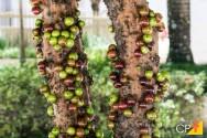 Tire suas dúvidas sobre cultivo de jabuticaba