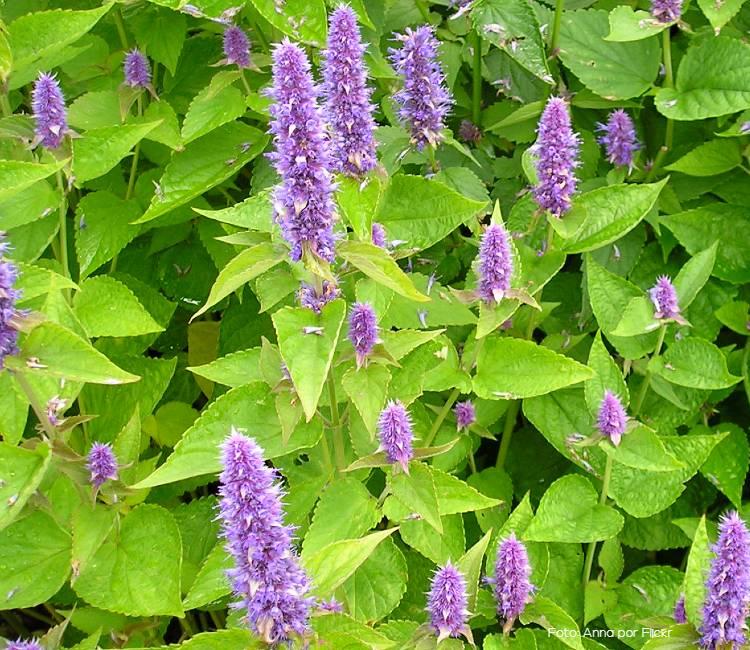 Plantas aromáticas: como plantar agastache
