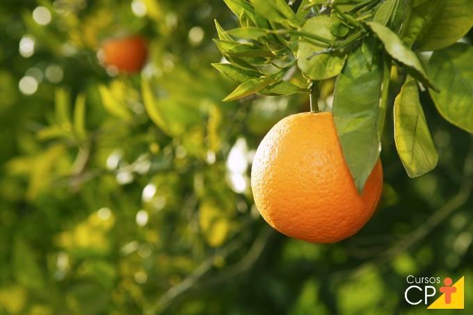 Tire suas dúvidas sobre problemas nas laranjeiras