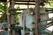 Métodos de contenção de bovinos de corte