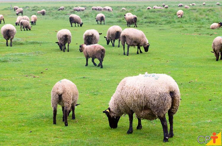 Ovinos no pasto - imagem ilustrativa