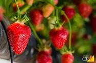 Cuidados essenciais no plantio de morango orgânico