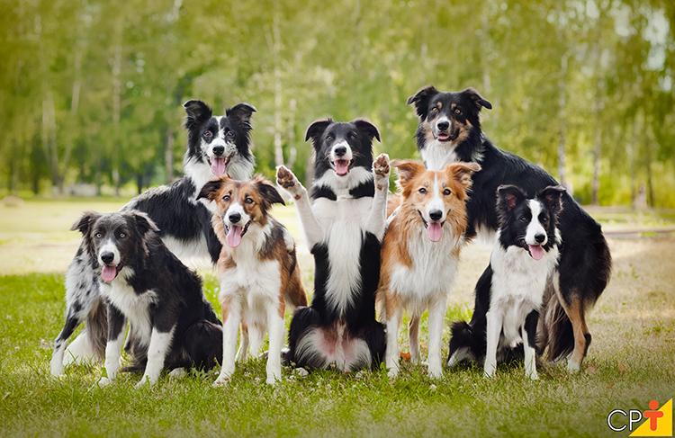 Cães da raça Border Collie - imagem ilustrativa
