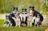 Conheça a raça de cachorro Border Collie