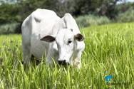 Estratégias nutricionais para o gado de corte