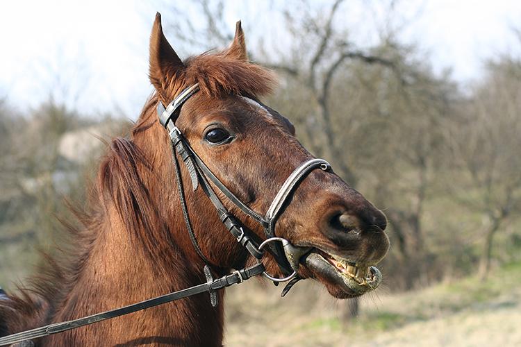 Cavalo com embocadura - imagem ilustrativa