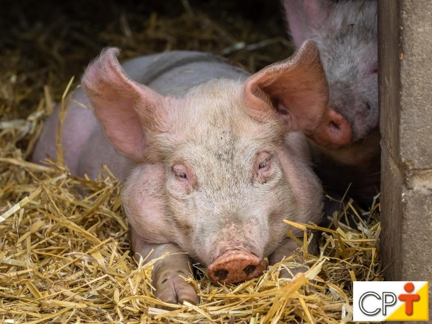 Cria porcos? Opte por camas sobrepostas e livre-se de problemas   Artigos CPT