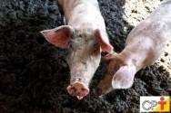 Esterco de porco não é só dejeto, é também fonte de nutrientes!