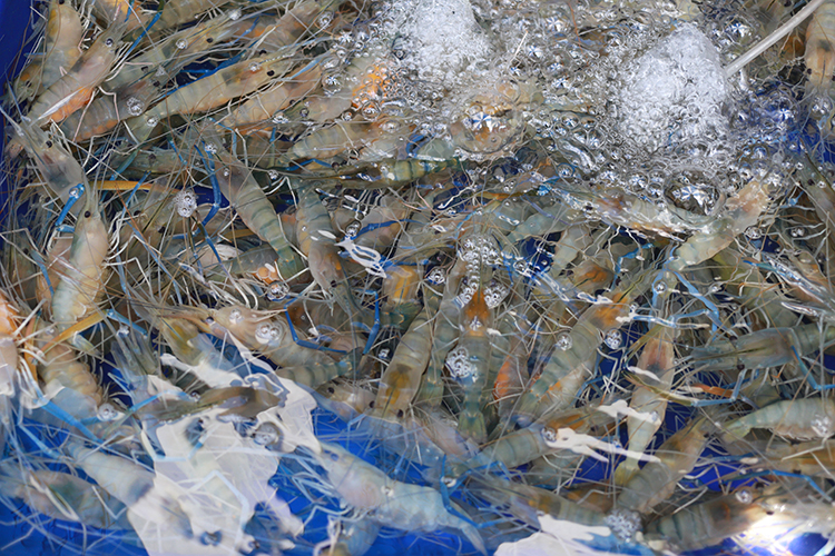 Criação de camarões - imagem ilustrativa