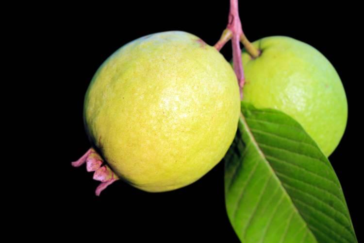 Recomendações de especialistas sobre cultivo de goiaba
