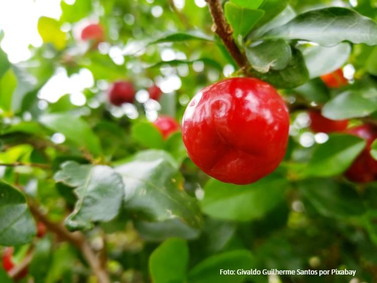 Produção de acerola: condições edafoclimáticas, colheita e produtividade