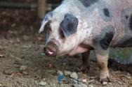 6 importantes raças de suínos nacionais