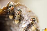 Meliponicultura: Novo ebook com tudo o que você precisa saber sobre abelhas nativas sem ferrão