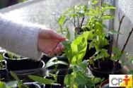 Mudas de plantas medicinais: instalações básicas