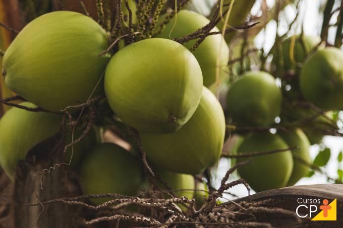 Como é feito o controle da broca do coqueiro?