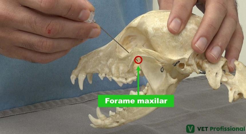 Localização do forame para bloquear o nervo maxilar canino    Artigo VetProfissional