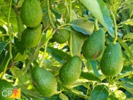 Produção de abacate: manejo integrado de pragas