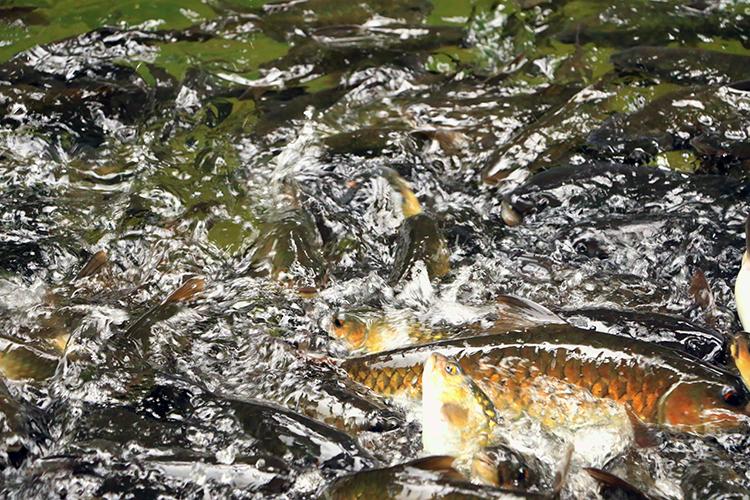Criação de peixes - imagem ilustrativa