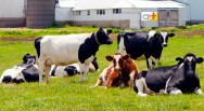 Bois e vacas dormem? O sono afeta a produção de vacas leiteiras?