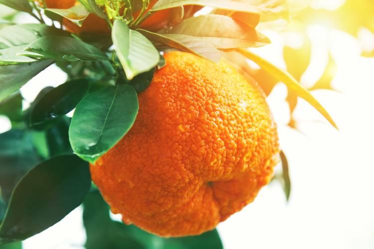 Cultivo de mexerica: da propagação à colheita