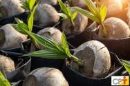 A macaubeira produz coco por mais de 90 anos, você sabia?