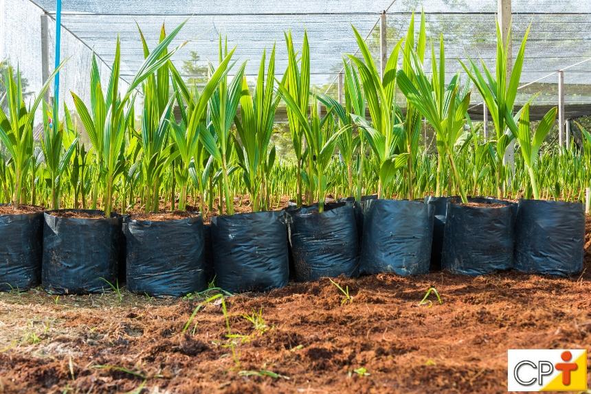 Vai plantar coco macaúba? Providencie um viveiro!   Artigos CPT