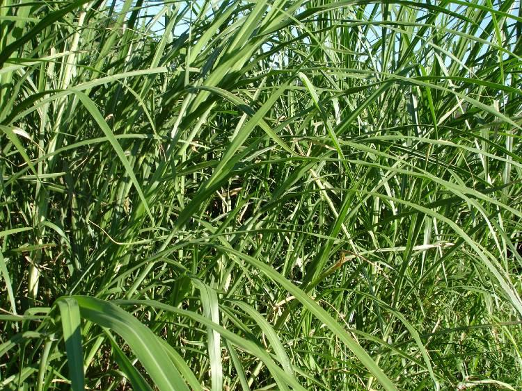 3 cultivares de Brachiaria brizantha mais comuns no Brasil