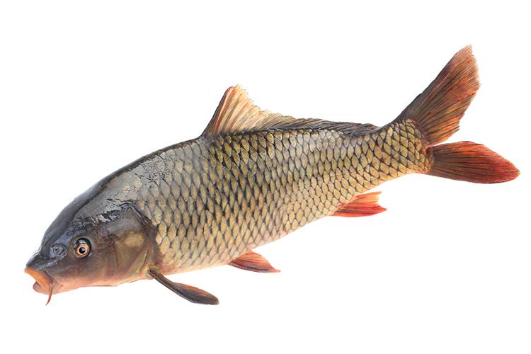 Carpa comum - imagem ilustrativa