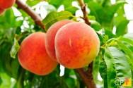 7 pragas agrícolas de fora que ameaçam as frutíferas do Brasil