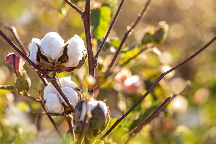 Orientações importantes sobre plantio de algodão