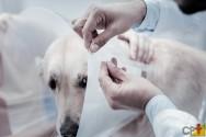 Ovariohisterectomia em pequenos animais: cuidados no pós-operatório