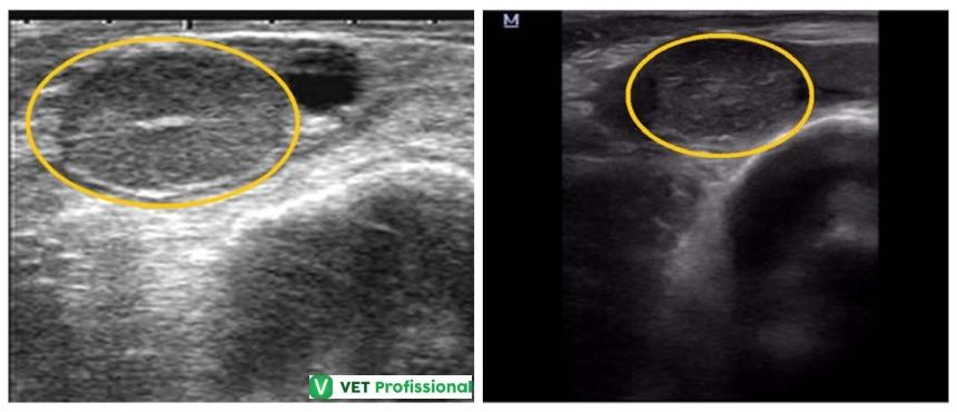 Ultrassonografia de corpo lúteo (A)   Artigos VetProfissional