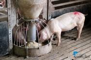 Alimentação de suínos para cada fase da criação