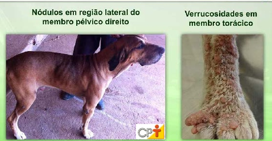 Exemplos de nódulos e verrucosidades nos membros do cão Artigos CPT
