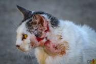 Lesões cutâneas em cães e gatos: o que são formações sólidas?