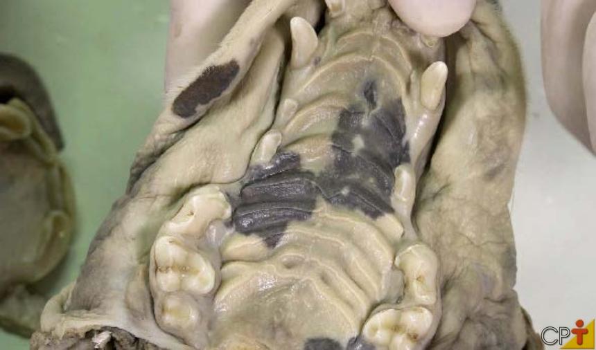 No centro do teto da cavidade oral está a rafe palatina (detalhe em um cachorro) Artigos CPT