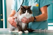 Sistema urinário de gatos: inspeção e palpação
