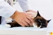 Exame semiológico das glândulas mamárias em gatas: passo a passo