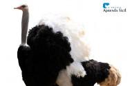 Características e comportamento dos avestruzes