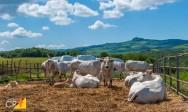 Aprenda agora sobre o gado Chianina