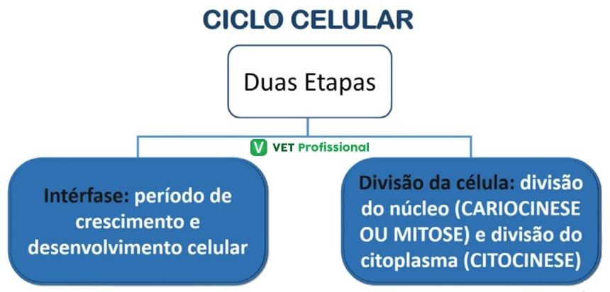 Ciclo Celular  Artigos VetProfissional