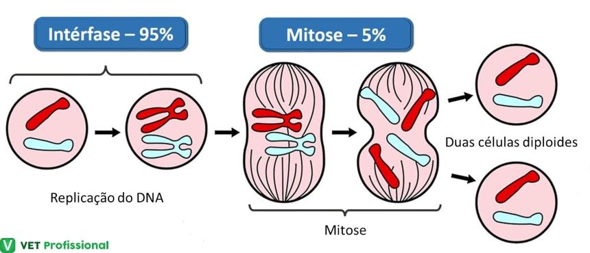 Etapas do ciclo celular: intérfase, mitose e multiplicação celular Artigos VetProfissional
