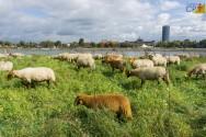Alimentação de ovinos: conheça os principais nutrientes para o rebanho