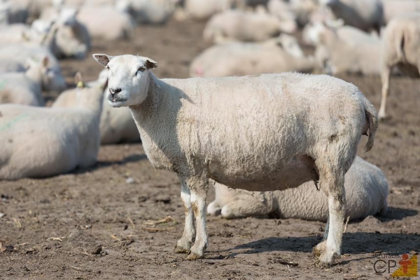 Ovelhas prenhes: cuidados gerais   Artigos CPT